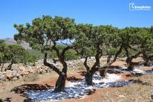 Μαστιχόδεντρο Χίου