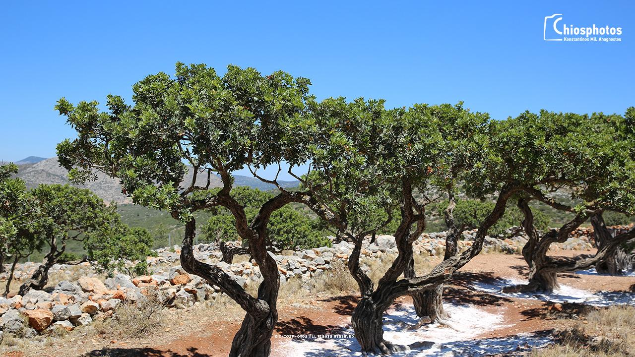 Μαστιχόδεντρο